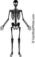 koerperbau, skelett, menschliche
