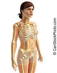 koerperbau, skelettartig, mann