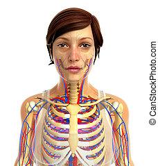 koerperbau, skelettartig, weibliche