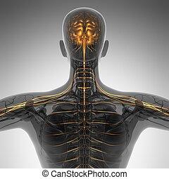 koerperbau, wissenschaft, röntgenaufnahme, menschliches gehirn