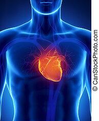 Konzentriert auf das menschliche Herz.