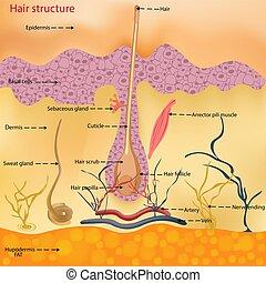 kopf, illustration., mikroskop, anatomisch, haar, person, skin., vektor, unter, close-up., struktur