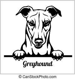kopf, windhund, rasse, -, freigestellt, gesicht, guckend, weißes, hunden