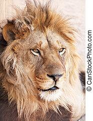 Kopfbild eines Löwentiers