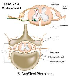 Kreuze Teil des Rückenmarks