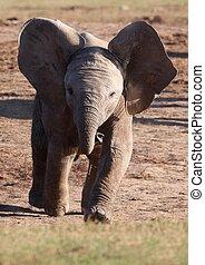 Läufernde Elefantenbabys.