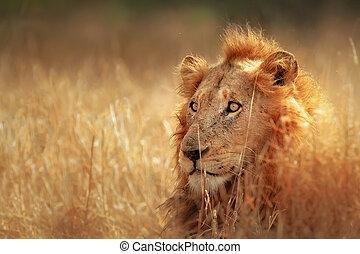 Löwe im Grasland