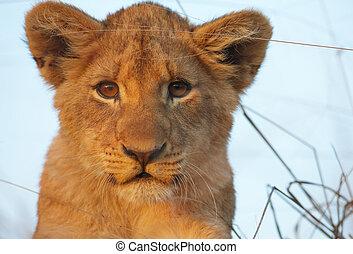 Löwenjunge (panthera leo) Großaufnahme