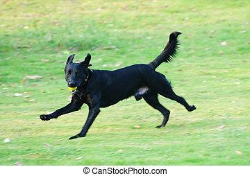 Labrador-Hund läuft