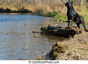 Labrador Retriever am Wasserrand