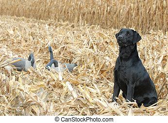 Labrador Retriever funktioniert