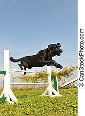 Labrador Retriever in Beweglichkeit