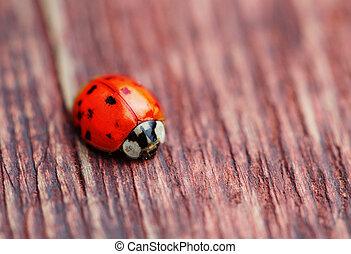 Ladybird auf braunem Makro