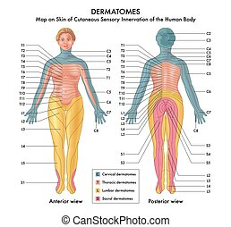 landkarte, dermatomes