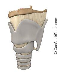 Larynx Anatomie