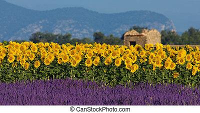 Lavendel und Sonnenblumen fallen ins Licht, Francs