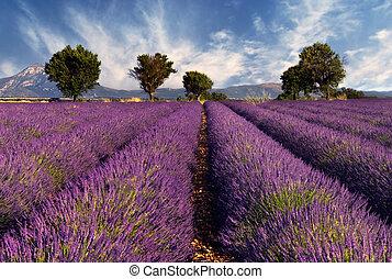 Lavendelfeld in der Beweislage, Fran