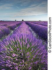Lavendelfeld in der Provence in den frühen Morgenstunden