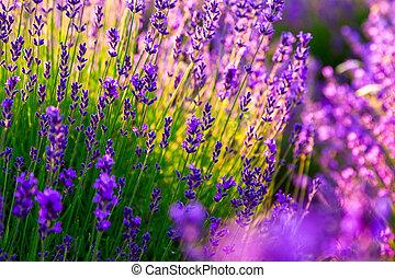 Lavendelfeld in Tihany, Hangar.