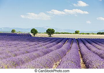 Lavendelfeld, Plateau de valensole, Beweisstück, Frankreich.
