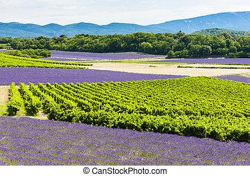 Lavendelfelder mit Weinbergen, Rhone-Alpes, Frankreich
