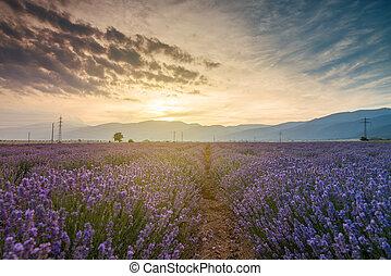 Lavendelfelder. Schönes Bild vom Lavendelfeld