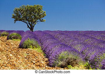 Lavender Feld mit einem Baum, Provence, Frankreich.