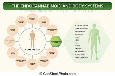 lehrbuch, koerper, infographic, horizontal, endocannabinoid, systeme