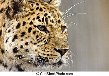 Leopard schließt