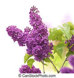 Lilac-Blumen im Frühling - die Grenze einer Seite, lila und grüner Farben