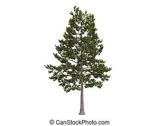 Loblolly Pine oder Pineus taeda
