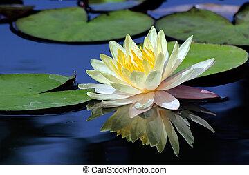 Lotusblüte.