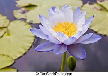 Lotusblüten oder Wasserblumen, die auf dem Teich blühen