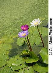 Lotusblüten oder Wasserlilienblüten, die auf dem Teich blühen.