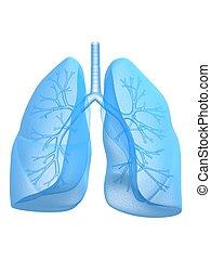 Lung und Bronchi.