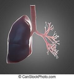 lunge, bronchi, menschliche