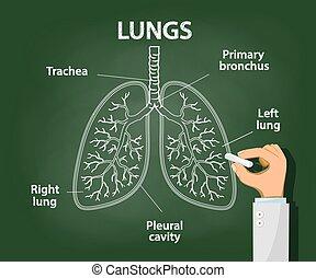 lungen, doktor, zieht, menschliche , tafelkreide, koerperbau