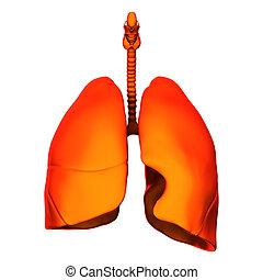 Lungen - Innere Organe - isoliert.