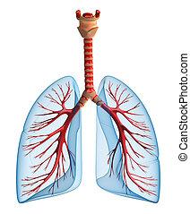 Lungen - Lungensystem
