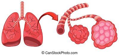 Lungendiagramm mit Zoom in der Lunge.
