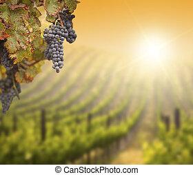Lush-Traubenstock mit verschwommenem Weingut