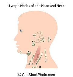 Lymphknoten von Kopf und Hals, Eps10