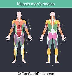 männer, körper, muskel