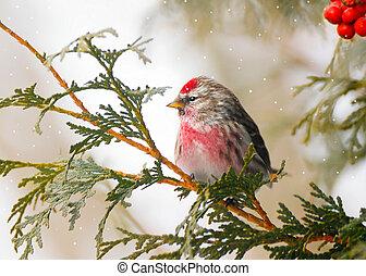 Männliche gewöhnliche Redpoll im Winter.