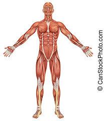 Männliche Muskel-Anatomie-Aussicht