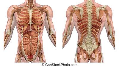 Männlicher Torso vorne und hinten mit Muskeln und Organen.
