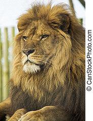 Männliches Löwenporträt.
