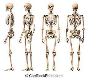 Männliches menschliches Skelett, vier Ansichten, vorne, hinten, Seite und Perspektive. Wissenschaftliche Korrektheit, photorealistische 3-D-Erkennung. Einschließlich der Schleifbahn.