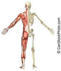 Männliches, muskulöses Skelett, gespaltene Sicht