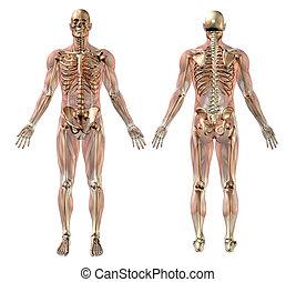 Männliches Skelett mit halbtransparenten Muskeln